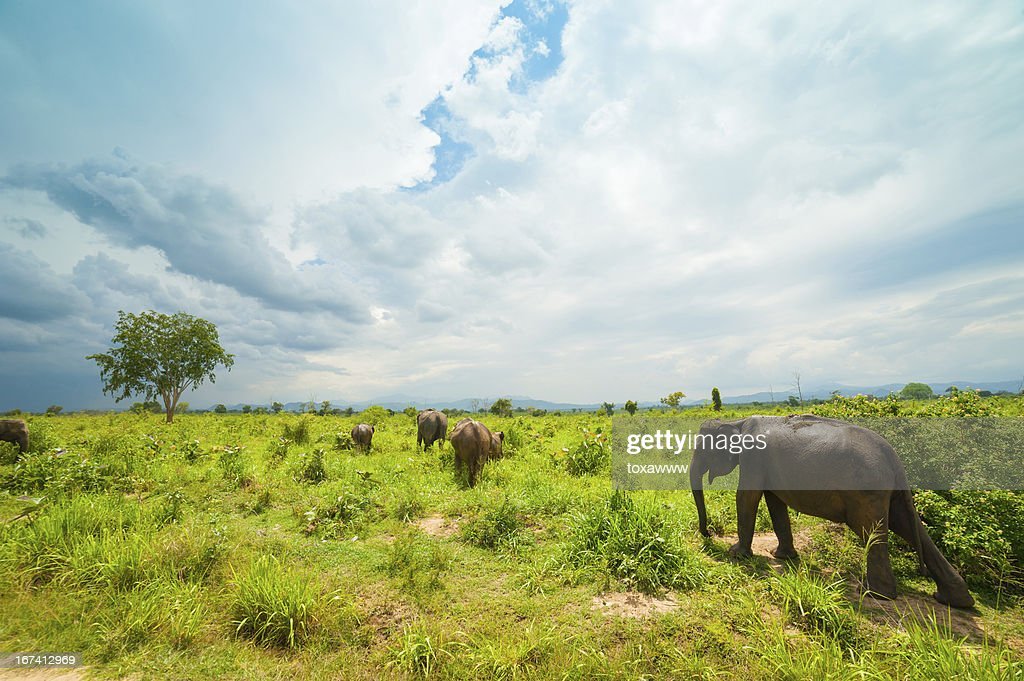 Group of wild elephants : Stock Photo