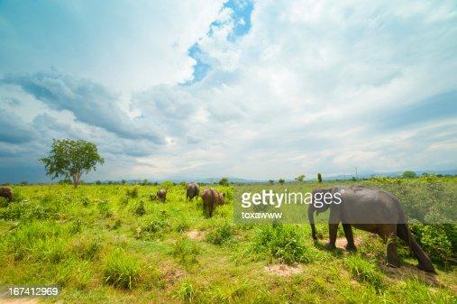 Group of wild elephants : Stock Photo