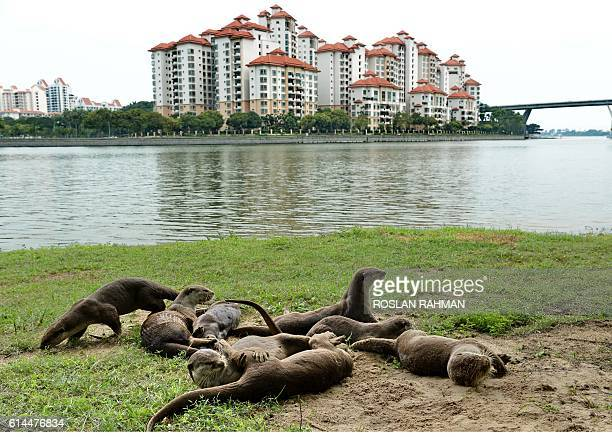 A group of wild otters sandbathing on the beach along Kallang basin in Singapore on October 14 2016 Smoothcoated otters are commonly spotted in...