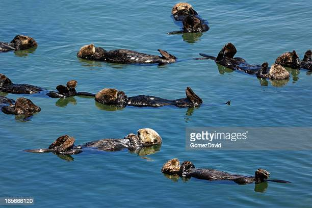 Group of Wild Sea Otters Resting in Calm Ocean Water