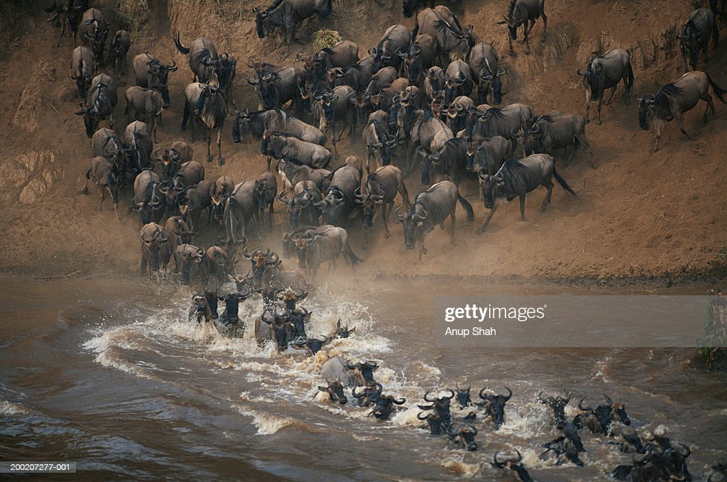 Group of wildebeest (Connochaetes taurinus) crossing mara river, Masai Mara, Kenya : Stock Photo