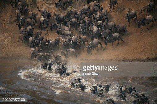 Group of wildebeest (Connochaetes taurinus) crossing mara river, Masai Mara, Kenya