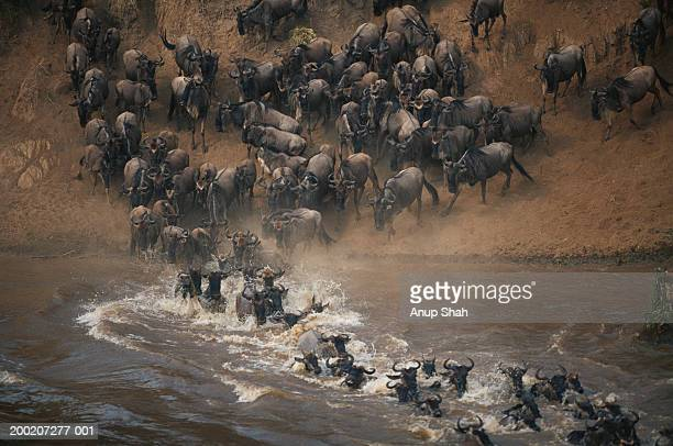 Group of wildebeest (Connochaetes taurinus) crossing mara river, Masai Mara, Kenya