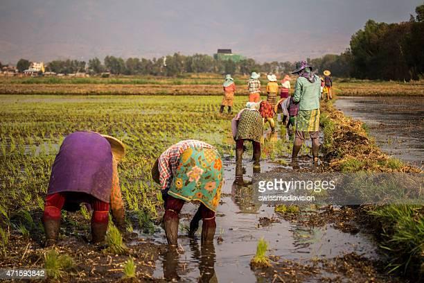 Gruppe von Frauen in der Landwirtschaft arbeitet in einem Reisfeld