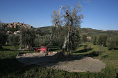 A group of workers picking olives from trees in a grove overlooking the medieval town of Seggiano in Tuscany The annual olive harvest took place over...