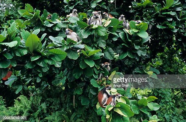 Group of Zanzibar red colobuses (Procolobus badius kirkii), Zanzibar