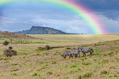 A group of zebras -Equus quagga boehmi- with rainbow, Lake Nakuru National Park, Kenya, East Africa, Africa, PublicGround