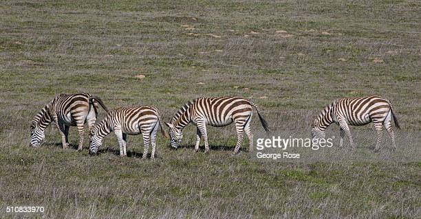 A group of zebras graze in a Hearst Ranch pasture on February 4 near San Simeon California Because of its close proximity to Southern California and...