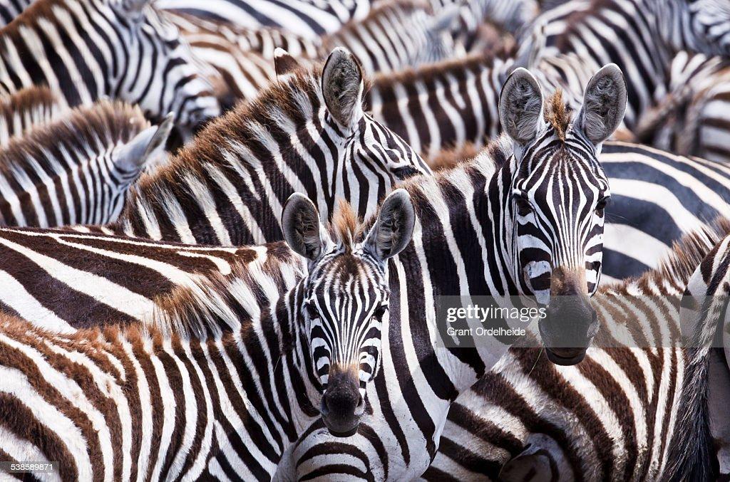 A group of zebras (Equus quagga) in Kenyas Masai Mara.