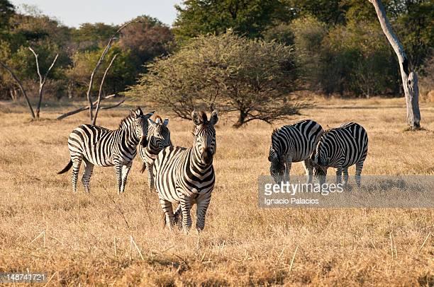 Group of zebras in the Okavango Delta
