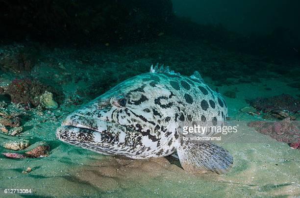 Grouper At Aliwal