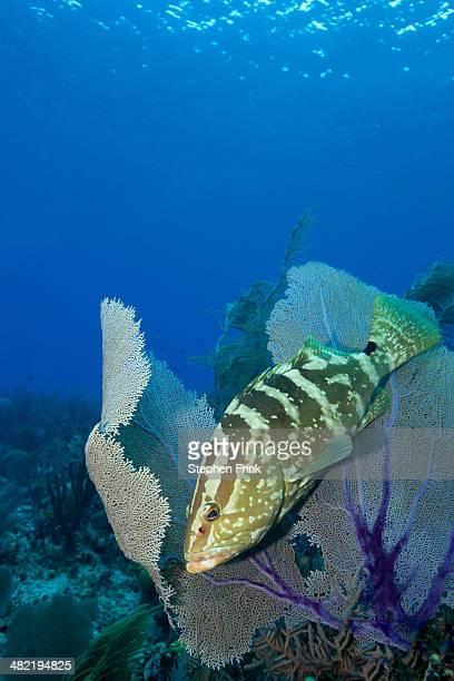 Grouper hiding in sea fan.