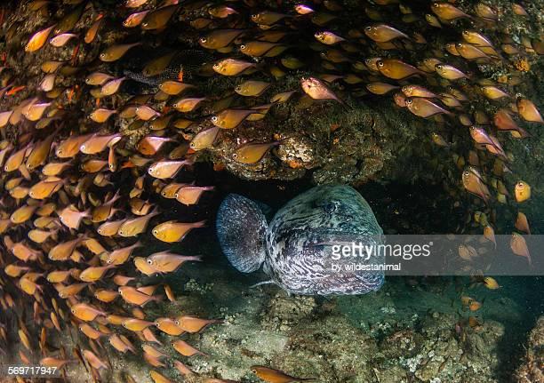 Grouper in the centre