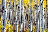 Grove of aspen trees during fall foliage