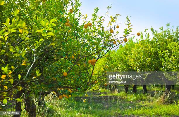 Grove of lemon trees ready for harvest