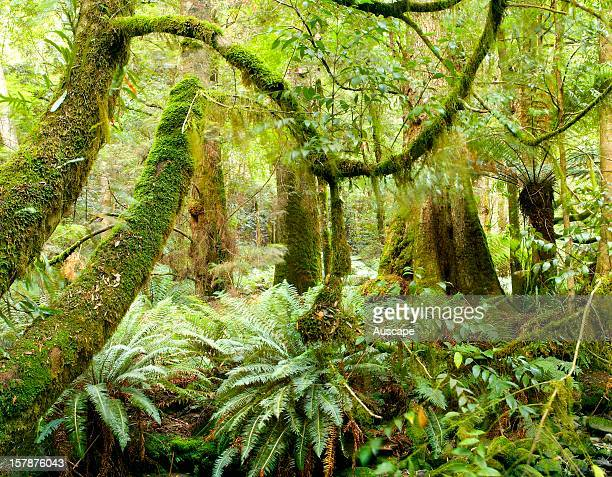 Grove of Myrtle beeches in temperate rainforest beside Pages Creek Liffey River Australian Bush Heritage Fund Conservation Reserve foothills of the...