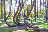 Grove of oddly shaped pine trees in Crooked Forest, Poland.