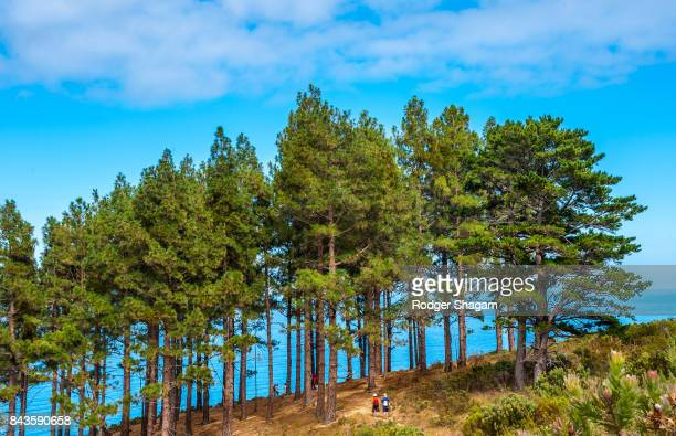 Grove of pine trees on the slopes of a mounta=in in Cape Town