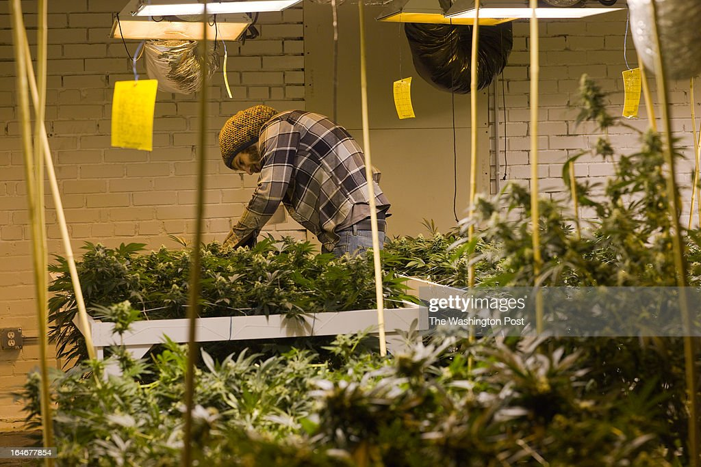 Grow Manager Trevor Hosterman checks on some plants in a 'flower room' inside a medical cannabis cultivation facility in Denver, Colorado, U.S., on Monday, March 4, 2013. This is inside a warehouse in Denver, and is one of the facilities that Kristi Kelly, Co-Founder of Good Meds Network, operates.