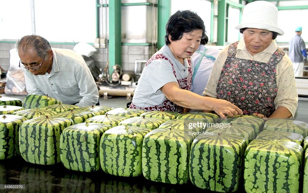 Growers of rare cube-shaped watermelons check their crops in the western Japan city of Zentsuji on June 29, 2016, as the season's first shipments of the fruit starts. The inedible watermelons used as ornaments were grown in square plastic containers and they carry a wholesale price of around 10,000 yen ($97).