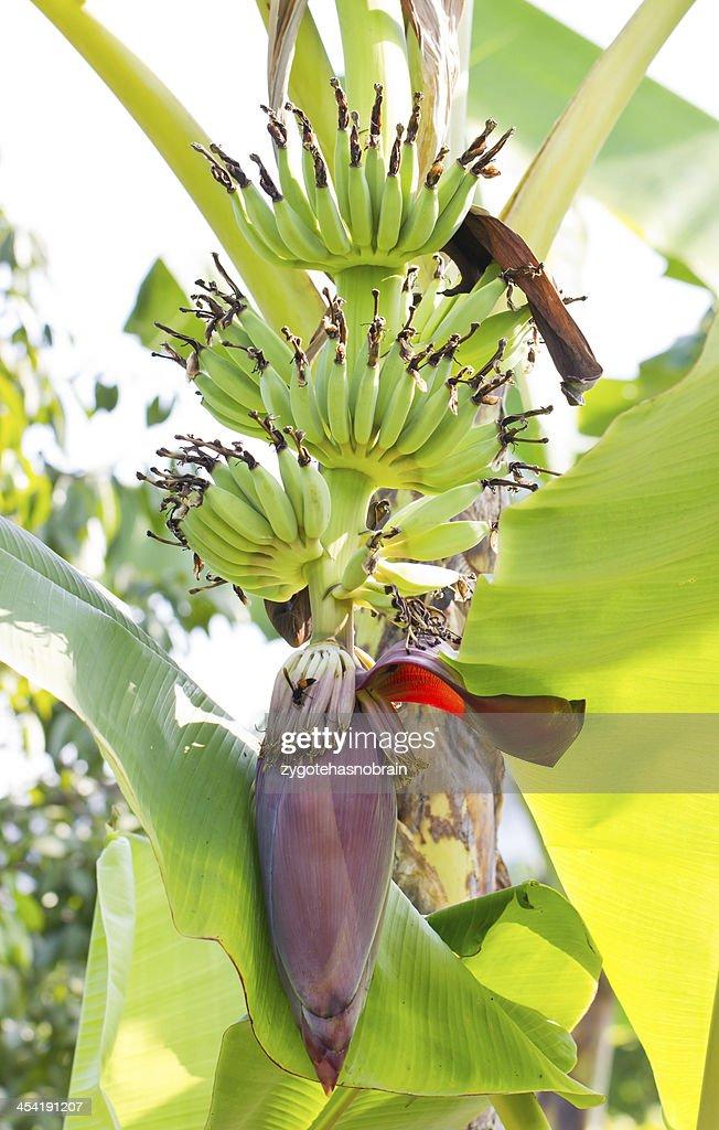 Wachsende banana blossom Baum. : Stock-Foto