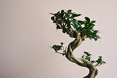 A bonzai tree with green leafs and light purple background.