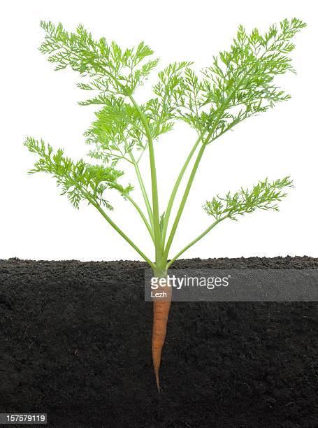 Croissance de carotte