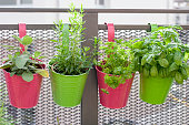 Freah herbs in colorful pots, growing on the balcony in town