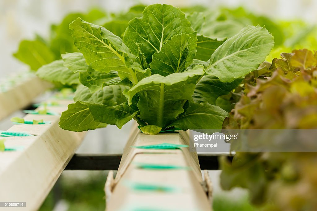 Growing organic vegetables without soil. : Stock Photo