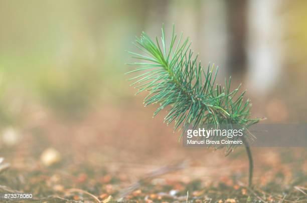 Growing pine