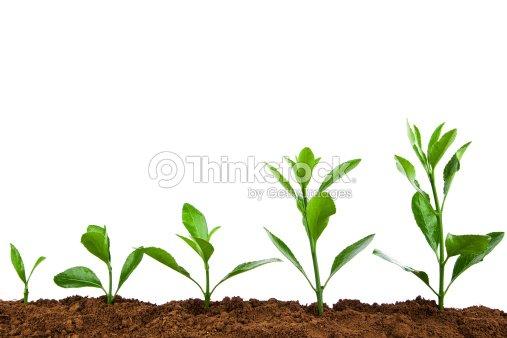 wachsende pflanze sequence in moto green holly isoliert auf wei em hintergrund stock foto. Black Bedroom Furniture Sets. Home Design Ideas