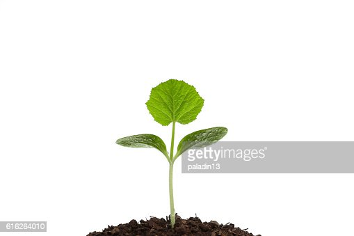 Growing sprout : Stock Photo
