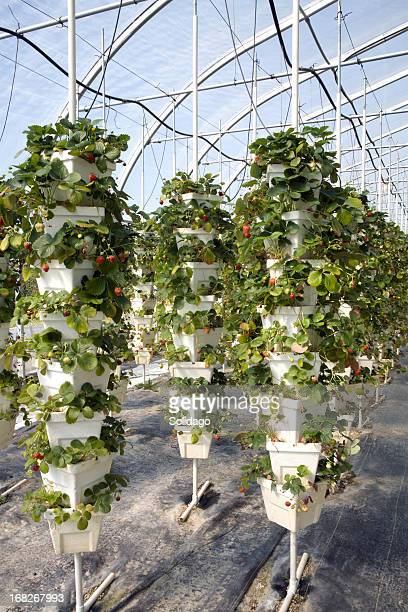 Growing Strawberries Hydroponically