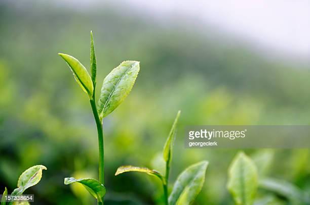 Growing Tea Leaf