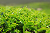 Growing tea leafs in tea farm