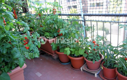 Growing tomatoes on the terrace of the apartment building - Huerto urbano balcon ...