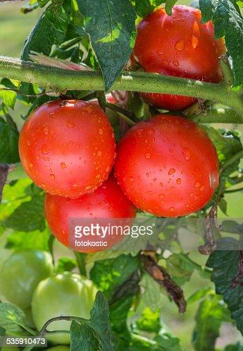 Growing  tomatoes : Stock Photo