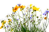 Growing up field flowers isolated on white
