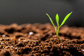 Growing Young Green Seedling Sprout in Cultivated Agricultural Farm Field close up