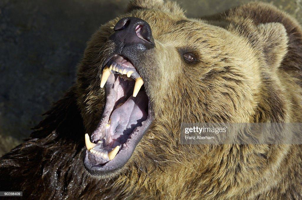 Growling bear : Stock Photo