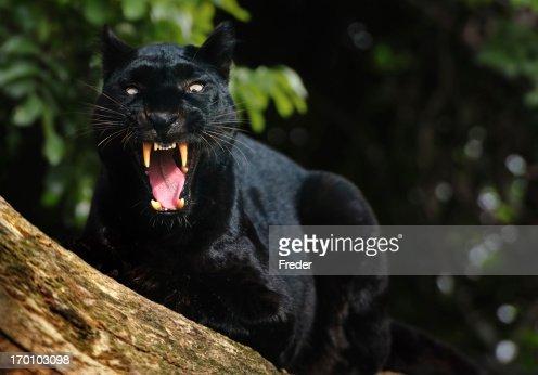 growling ブラックパンサー