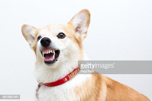 Growling Corgi dog : Stock Photo