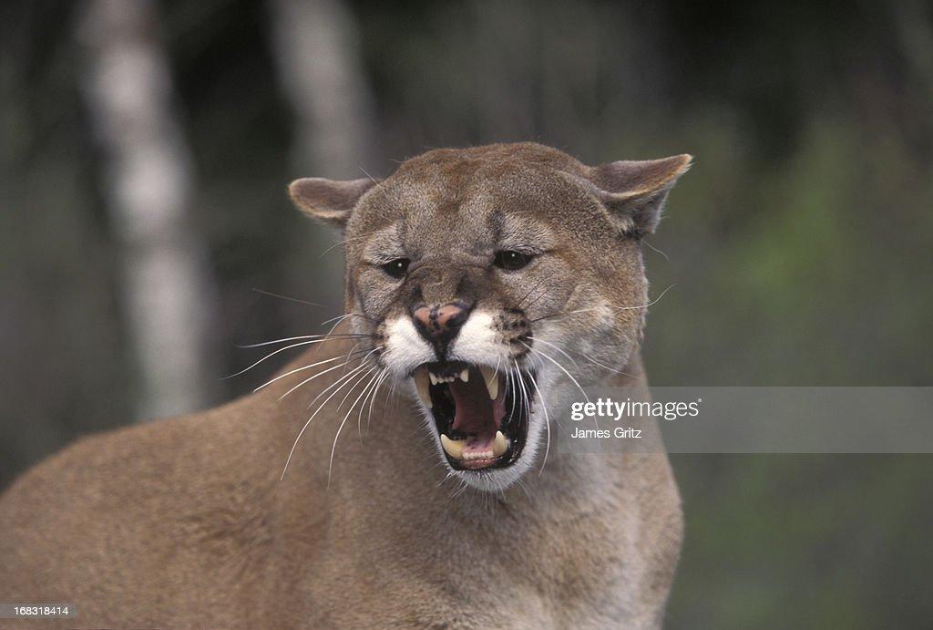 Growling mountain lion : Stock Photo