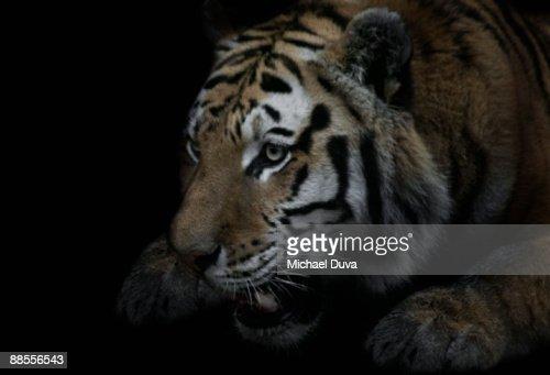 growling tiger ready to strike