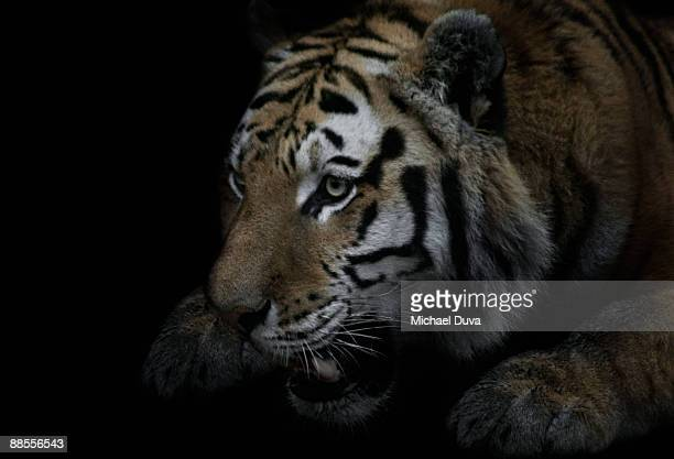 growling tiger ready to strike