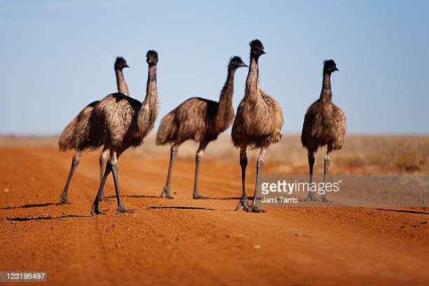 Grown emu chick walking with family group