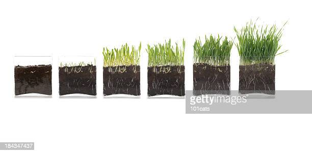 growth of the grass