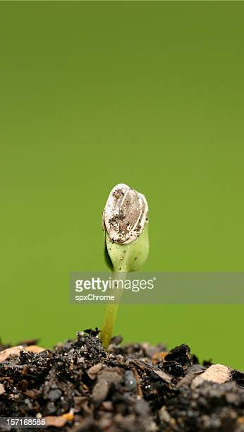 Growth - Seed Sprouting