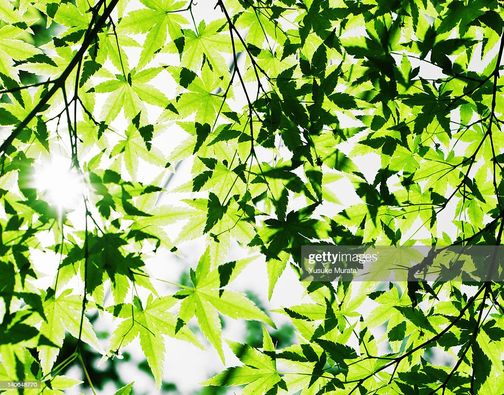 Grren maple leaves : Stock Photo