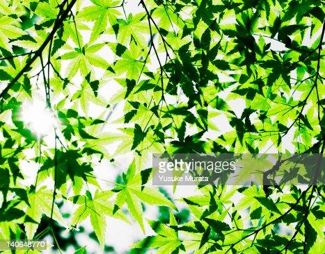 Grren maple leaves : Stock Photo